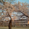 懐かしい小学校の桜・・・